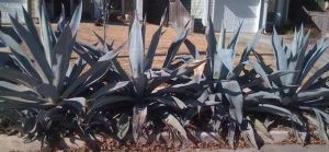 Row of Agaves