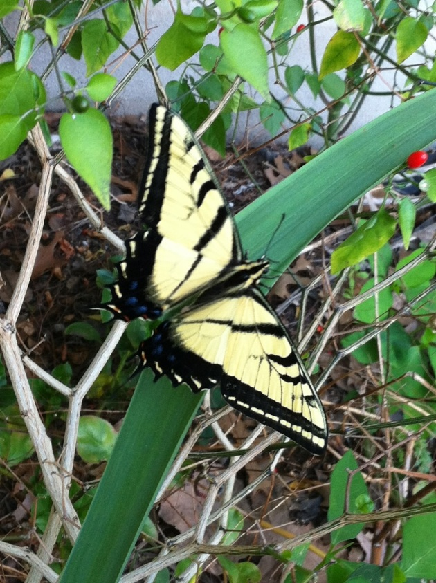 Picture of Eastern Tiger Swallowtail