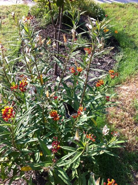 Caterpillars on the milkweed