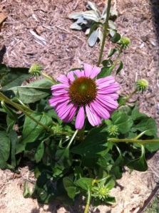 Purple Coneflower, picture of first flower