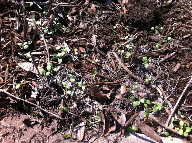 Picture of wildflower seedlings