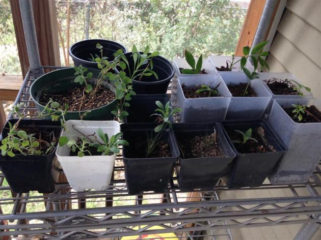 Picture of native plants in pots on rack