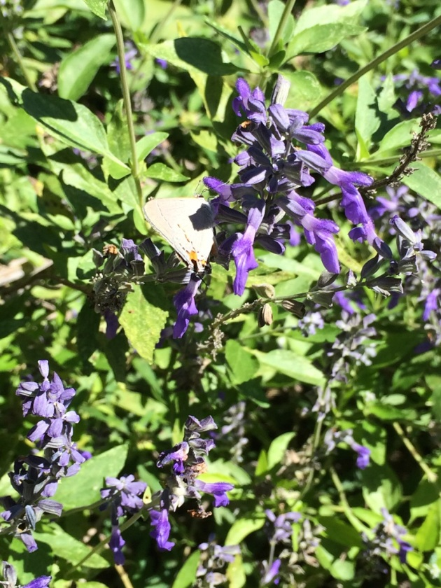 Salvia, with Gray Hairstreak butterfly